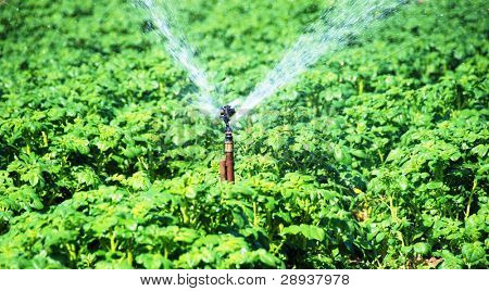 a Irrigation sprinkler in a potato field