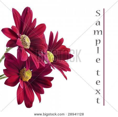 Red chrysanthemum flowers on a white background with space for text