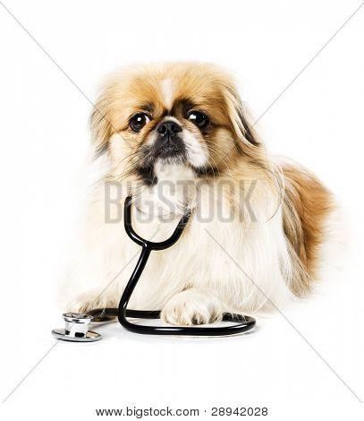 Cão pequinês e spaniel japonês com estetoscópio do médico sobre um fundo branco com espaço para texto