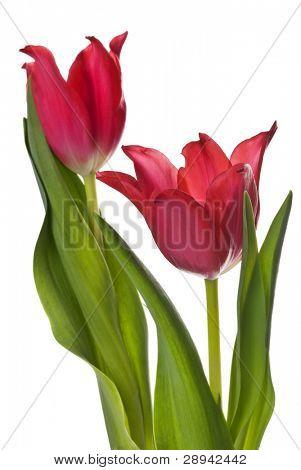 zwei rote Tulpen auf weißem Hintergrund
