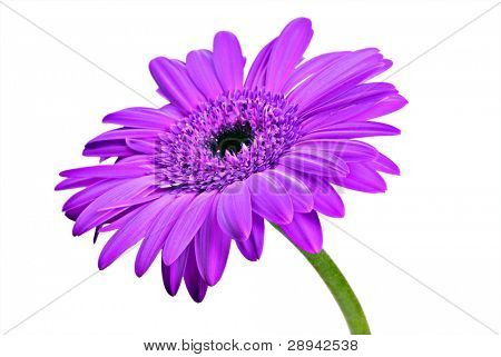 One purple daisy gerbera on a pure white background with space for text