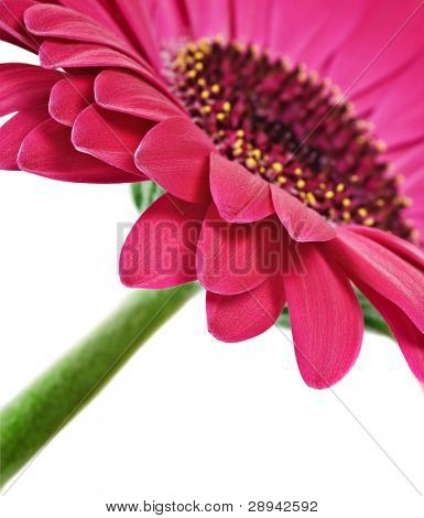 Close up abstract of one  pink daisy gerbera on a white background