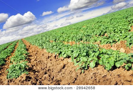 Potato field and blue sky with clouds