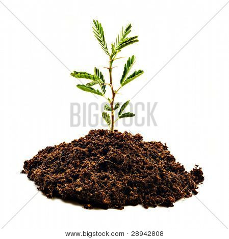 Small camel thorn tree (Acacia erioloba) on a white background with space for text