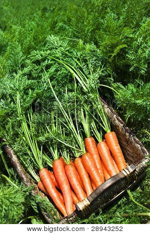 Freshly picked carrots in a basket in a carrot field on a farm