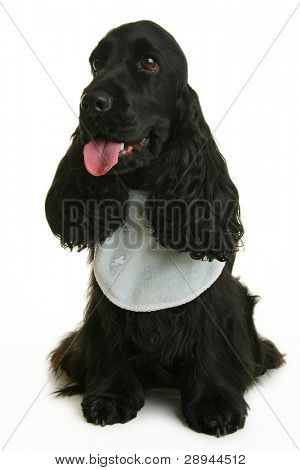 dog with bib isolated on white background
