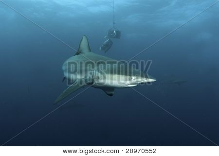Shark Behavior