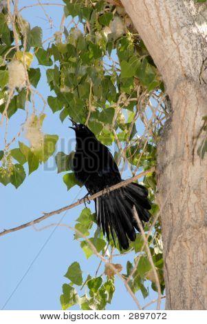 Grackle bird In Cottonwood Tree