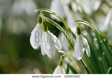 snowdrop flower in morning dew, soft focus, perfect for postcard