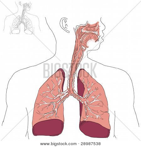 Respiratory System And Actinomycosis