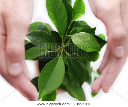 Green plant protected  by hands