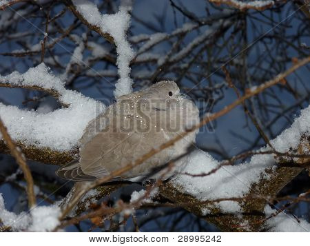 Turtledove In Branch