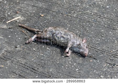 Dead Rat Death On The