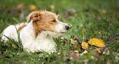 Cute Lazy Jack Russell Pet Dog Resting In The Grass - Web Banner With Copy Space poster