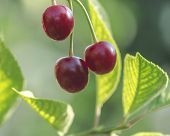 Ripe Cherry Berries On A Branch In Green Foliage Harvesting Of Ripe Cherry On A Tree In Orchard. Red poster