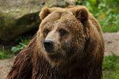 Mainland grizzly (Ursus arctos horribilis). Wildlife animal. poster