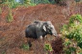 Wild Elephant Eating Food On Natural Environment Season Leaf Tree Change Color In The Wildlife Sanct poster