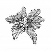 Branch Of Rowan Berry Sketch, Mountain-ashes Twig, Ash Tree Raceme For Scrapbook, Foliage Of Rowan-t poster