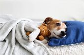 Sleeping jack russel terrier puppy dog with teddy bear toy poster