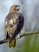 A Red-tailed Hawk Sitting In A Tree poster