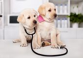 Two cute labrador puppy dogs sit on examination table at the veterinary doctor office - looking side poster