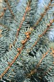 Fat Albert Colorado Blue Spruce - Latin Name - Picea Pungens Fat Albert poster