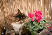 Beautiful Long-haired Cat, Cat Snout Flower On Balcony poster