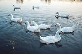 A Flock Of White Domestic Geese Swimming In Lake In Evening. Domesticated Grey Goose Are Poultry Use poster