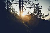 Sunset In Pine Forest Nature Background. Dark Background Of Pine Forest.last Sun In Forest Nature. S poster