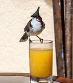 Single Red Whiskered Bulbul Birds Sitting On Glass Of Orange Juice, Looking Left. Mauritius poster
