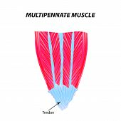 The Structure Of Skeletal Muscle. Multipennate Muscle. Tendon. Infographics. Illustration On Isolate poster