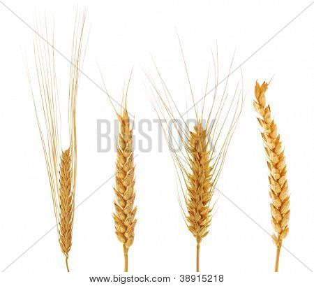 set of ears of wheat isolated on white background