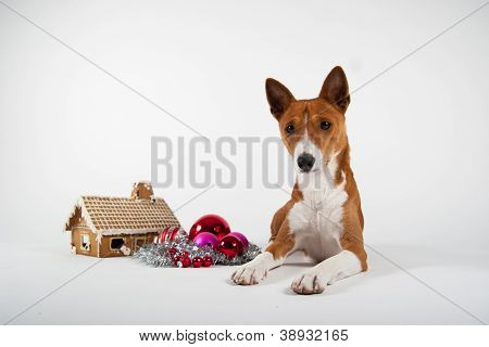 Basenji lying besid a gingerbreadhouse