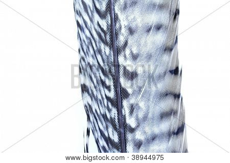 close up of bird feather isolated over white