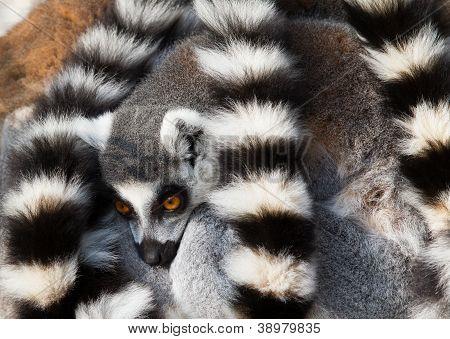 Ring-tailed Lemurs (lemur Catta) Huddle Together