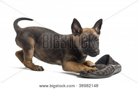 Belgian Shepherd puppy playing with a slipper against white background