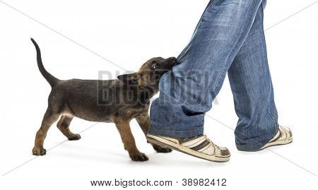 Belgian shepherd puppy biting leg against white background