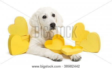 Polish Tatra Sheepdog lying between yellow hearts, looking away, (also known as Owczarek Tatrzanski, Owczarek Podhalanski or Polski Owczarek) gift, present against white background
