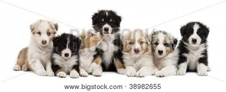 Front view of Australian Shepherd puppies, 6 weeks old, sitting and lying in a row against white background