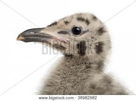 European Herring Gull chick, Larus argentatus, 1 month old against white background