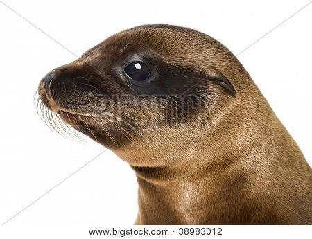 Young Close-up of a California Sea Lion, Zalophus californianus, 3 months old against white background