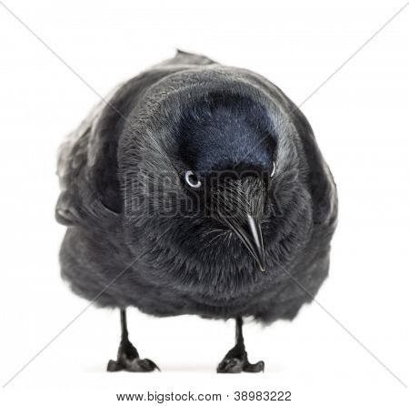 Western Jackdaw bending and looking down, Corvus monedula, (or Eurasian Jackdaw, or European Jackdaw or simply Jackdaw) against white background