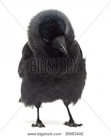 Western Jackdaw looking down, Corvus monedula, (or Eurasian Jackdaw, or European Jackdaw or simply Jackdaw) against white background