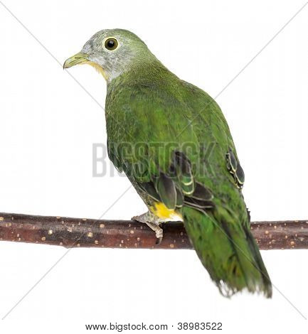 Rear view of a Black-naped Fruit Dove perched on branch, Ptilinopus melanospilus, 2.5 months old against white background