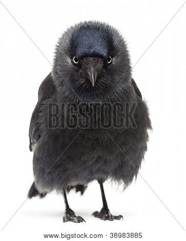 Western Jackdaw portrait, Corvus monedula, (or Eurasian Jackdaw, or European Jackdaw or simply Jackdaw) against white background