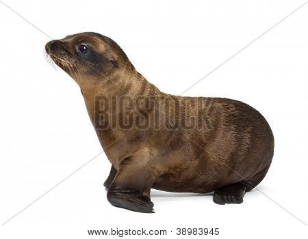Side view of a Young California Sea Lion, Zalophus californianus, looking away, 3 months old against white background