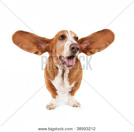 a funny basset hound isolated on white a background