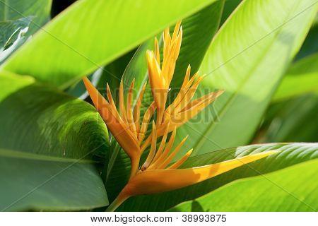 Beautiful Bird of Paradise flower known as Strelitzia