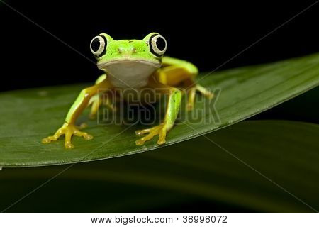 yellow tree frog at night in tropical jungle of Panama or Costa Rica treefrog Agalychnis lemur an animal with big eyes for nocturnal life