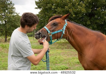 Young man deworming a bay horse with a dewormer paste